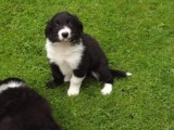 Border Collie Puppies Available for adoption