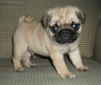 Home Raised Pug Puppies for rehoming