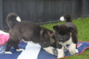 Purebred and Standard American Akita Puppies available for re-ho