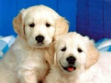 Attractive Golden Retriever Puppies
