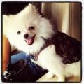 Sweett pomeranian puppies akc